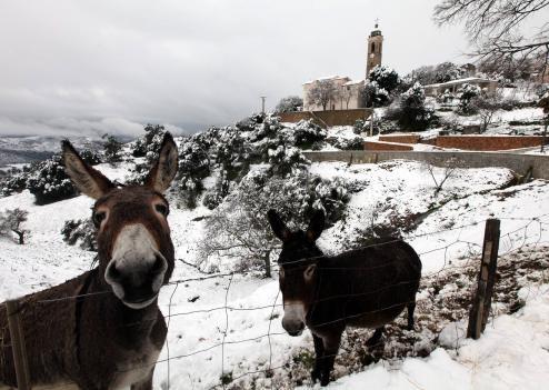 Corse ânes sous la neige.jpg