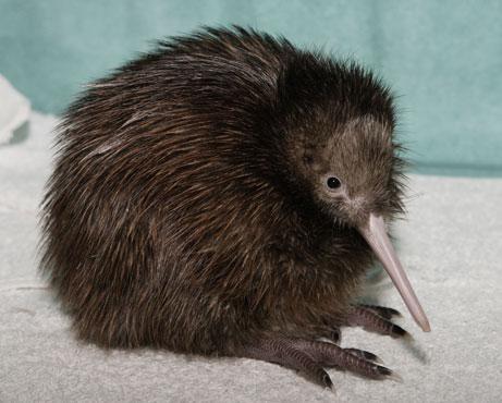 Kiwi oiseau.jpg