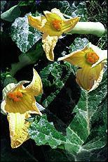 Beignets de fleurs de courgettes.jpg