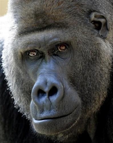 Polo gorille.jpg