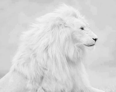0.jpg Lion blanc.jpg