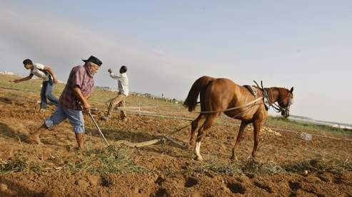 Fermier palestinien à Beit lahia (nord de la bande de gaza).jpg