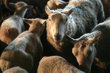 Le-Danemark-interdit-l-abattage-rituel-des-animaux_article_main.jpg