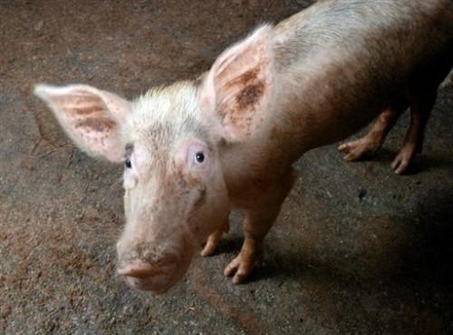 Cochon CCC.jpg