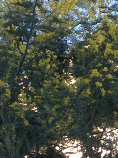 IMG_0905.JPG mimosa 2.JPG