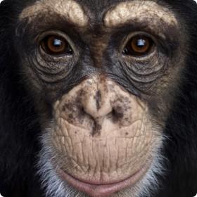 chimpanz-zoom_thumb.jpg