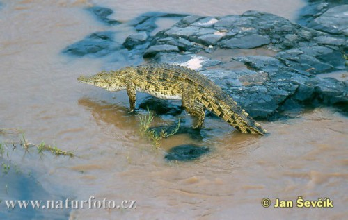 crocodile-du-nil--crocodylus-niloticus.jpg