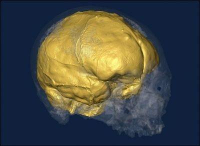 Cerveau homme de Cro-magnon.jpg