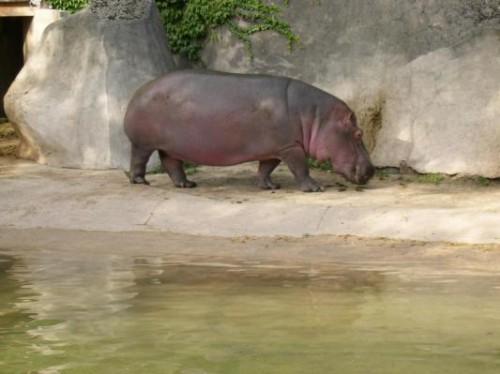 hippopotame_afrique_zoo_vincennes_paris_331.jpg