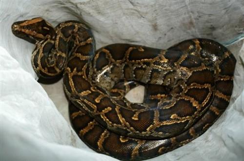 Python royal.jpg