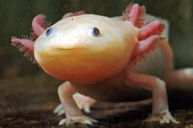 1173119.jpg axolotl mexicain.jpg