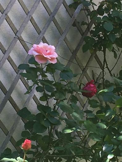 IMG_0510.JPG ROSE rose.JPG