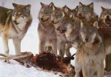 sans-titre.png loups en meute.png
