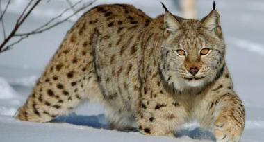sans-titre.png Lynx boréal.png