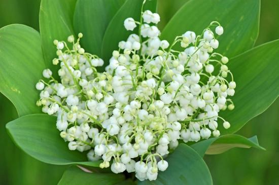hellen-sergeyeva-fotolia_com_.jpg Muguet  en bouquet.jpg