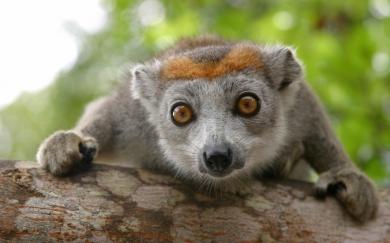 lemurien-tete-couronnee.jpg