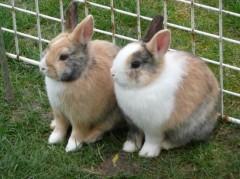 couple de lapins.jpg