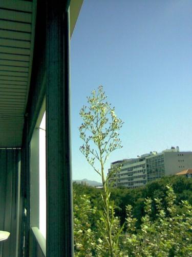 Plante balcon 3 XXX.JPG