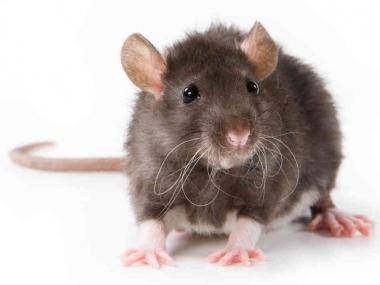 rat-987c78e8f6d5124306d52a0a978ad8853a9d8988-s6-c30.jpg
