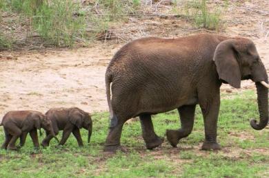 1736491.jpg jumeaux éléphant.jpg
