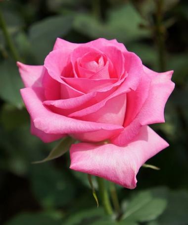 rose-T_Kiya_.jpg