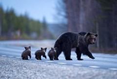 Ourse suédoise et ses trois oursons.jpg