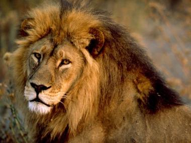 sans-titre.png Lion.png