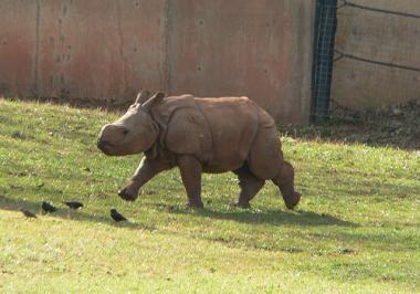sans-titre.png bébé rhinocéros.png