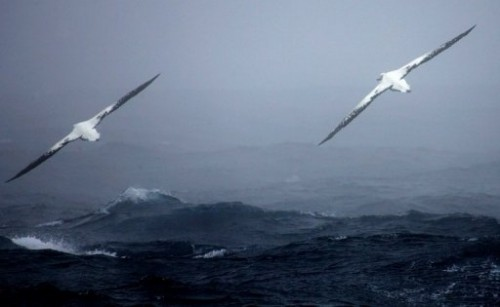 ALbatros au-dessus des mers australes.jpg
