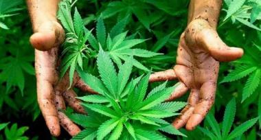 Cannabis-Pap.jpg