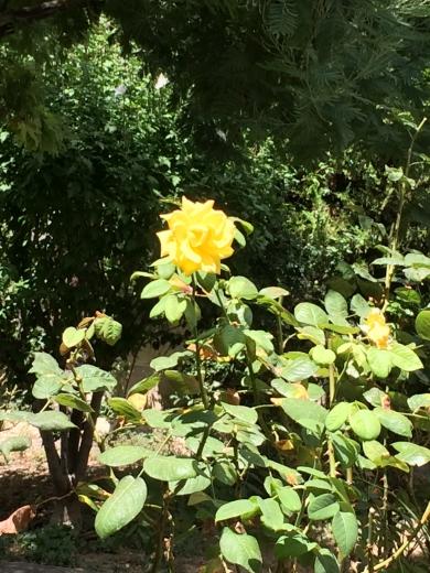 photo 1.JPG rose soleil.JPG