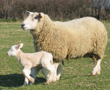 sans-titre.png agneau brebis.png