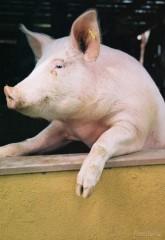 untitled.bmp porc.jpg