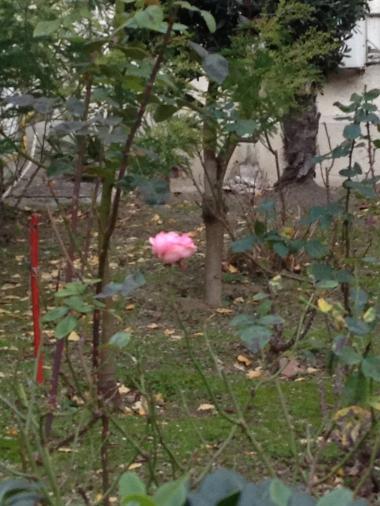 IMG_0616.JPG rose de Noel.JPG