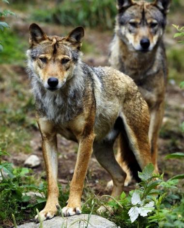20150130_1_6_1_1_0_obj8109461_1.jpg Loups.jpg