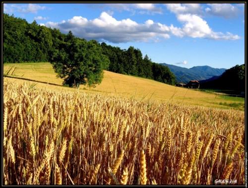 Champ de blé Lug.jpg
