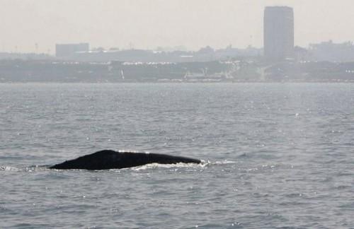 Baleine Israël.jpg