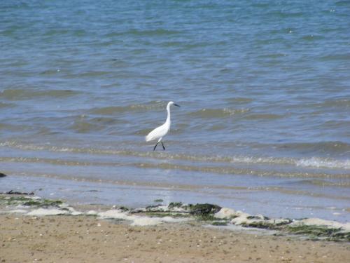Cigognes dans la mer à Marennes.JPG
